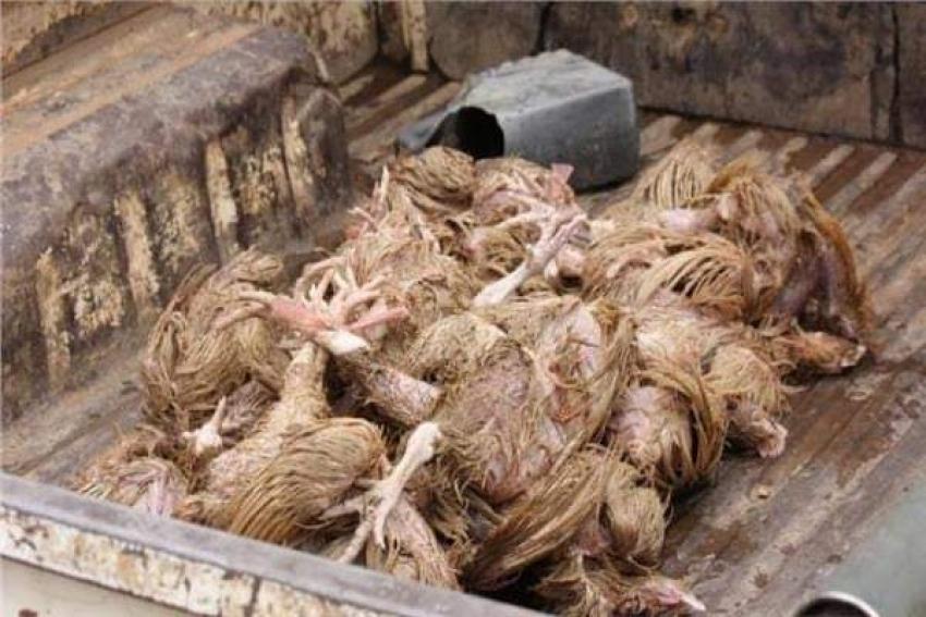 دجاج نافق وآخر مصاب بأمراض..جمعية فرنسية تفضح «كنتاكي»