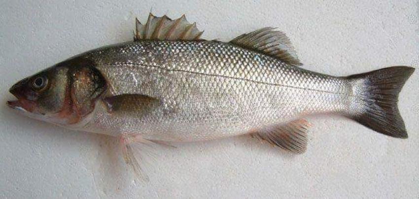 عالم الصيد ( سمكة القاروص )