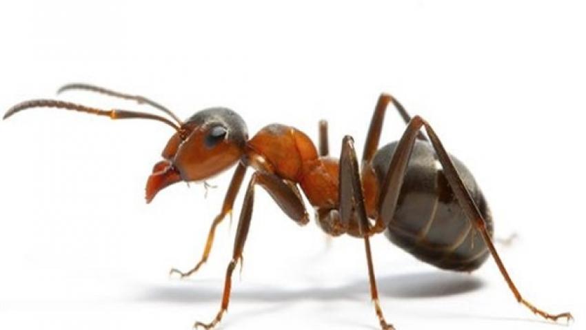 النمل ينتج المحاصيل الزراعية و المضادات الحيوية قبل البشر بملايين السنين