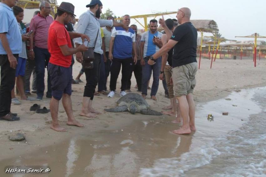 بالصور :السوايسة ينقذون الترسة الخضراء واعادتها الى البحر والبيئة توجه الشكر لصاحب محل استاكوزا للاسماك