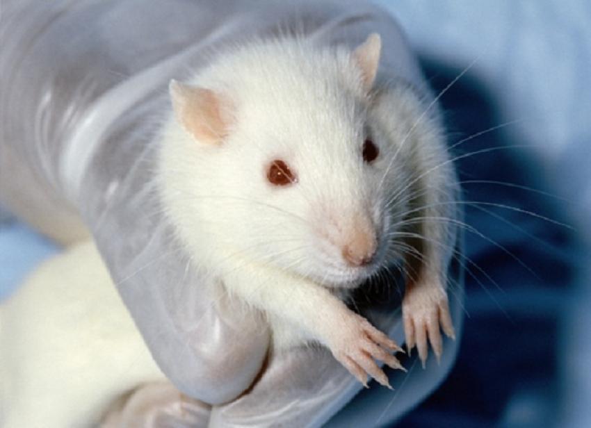 اختراق طبي صيني ولاده فئران بـ أمين بلا اب