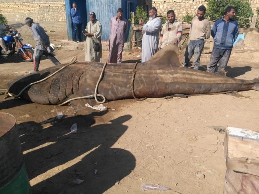 بيان من وزارة البيئة في شأن حادث صيد سمكة قرش الحوت بمدينة السويس اليوم