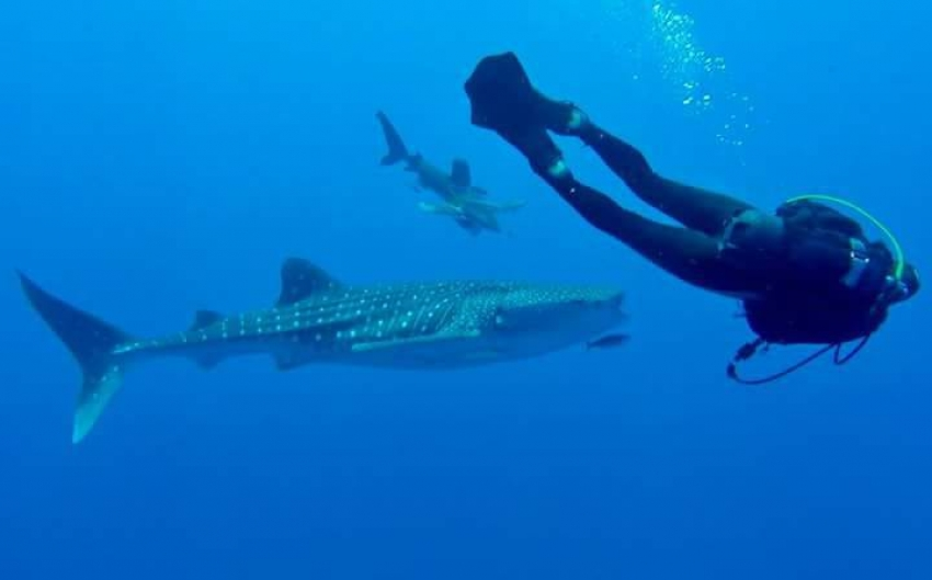 عاجل .. علوم البحار يرصد ظهور سمكة قرش الحوت بالبحر الأحمر